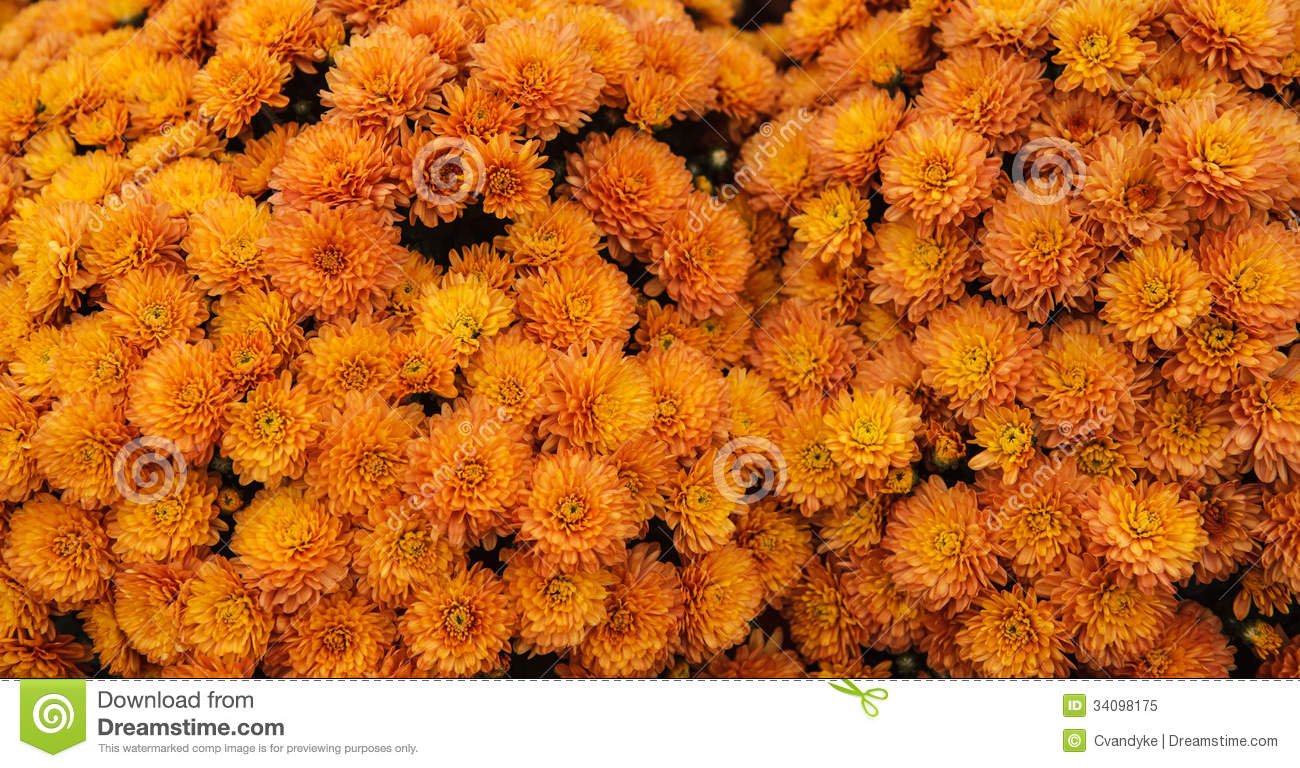 Background Orange Flowers Harvest Mums Stock Image Image 34098175