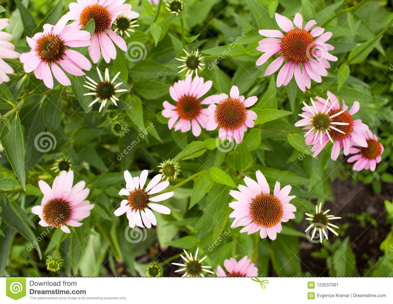 Background Of Pink Flowers In The Garden Stock Image Image Of