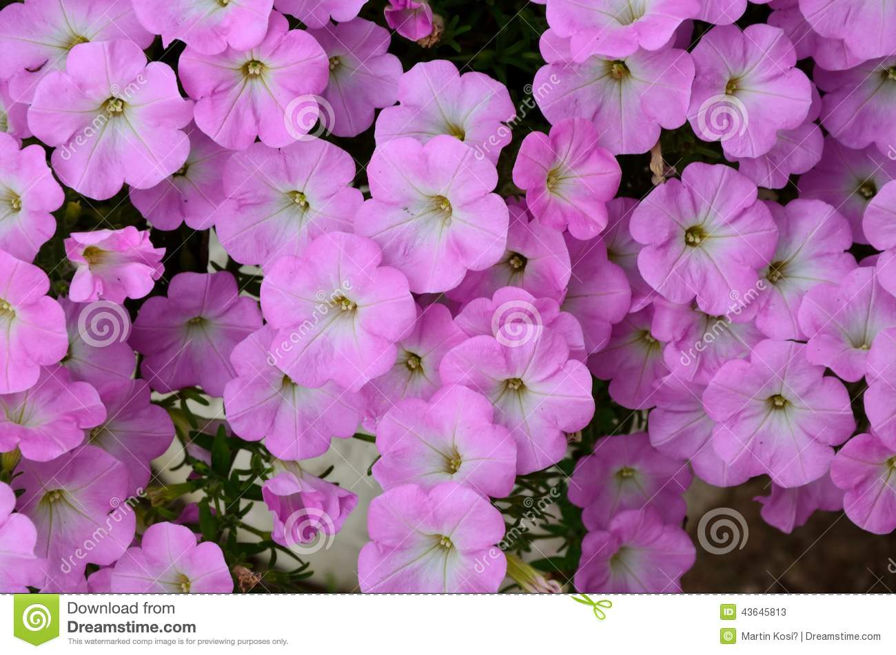 Background Of Pink Flowers Stock Image Image Of Fresh 43645813