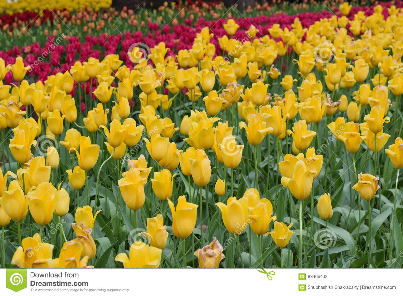 Background Red & Yellow Color Tulip Flowers In Garden Stock Image ...