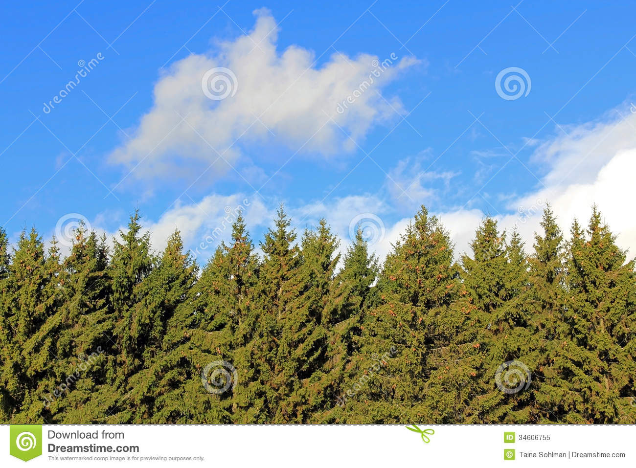 Background Of Spruce Tree Tops And Blue Sky With White
