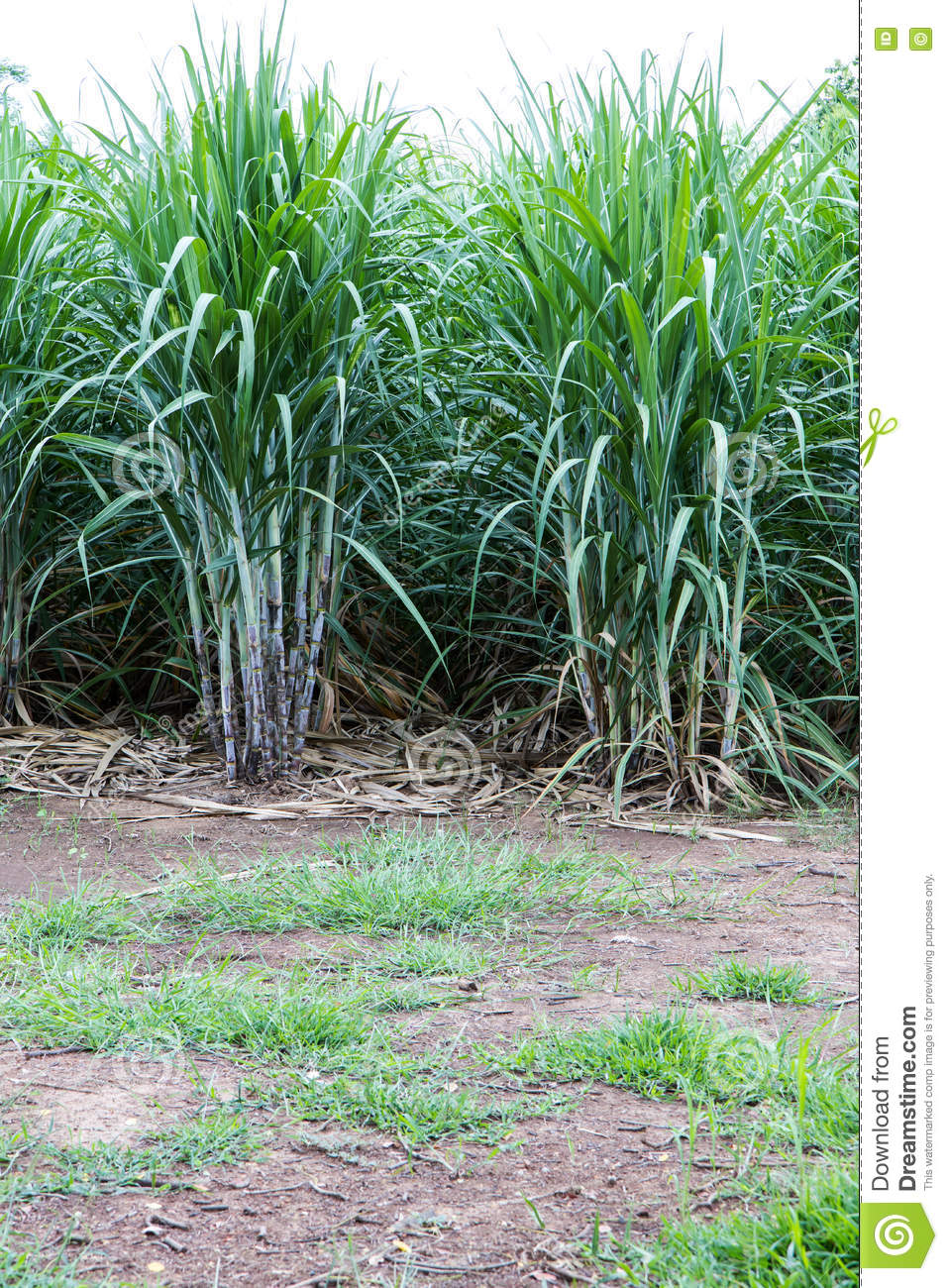 Background Sugar Cane Farming. Stock Image