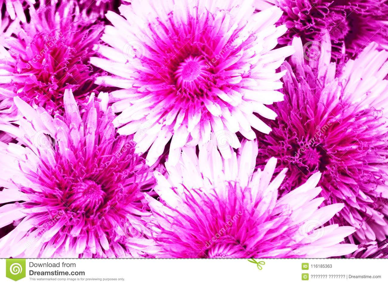 Background Of Terry Flowers With White Crimson Flowers Stock Image