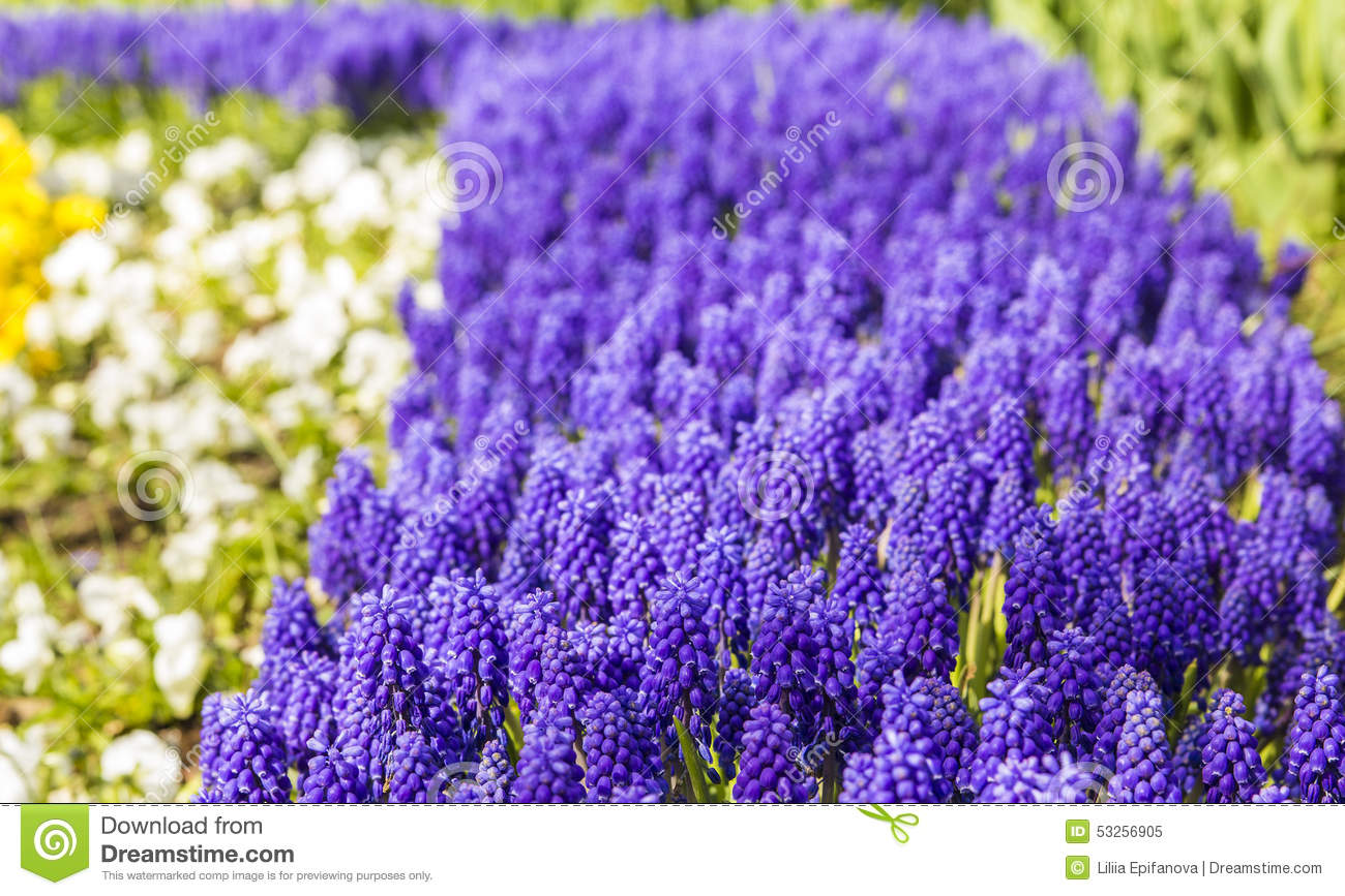 Background Texture Of A Flower Bed With A Purple Muscari