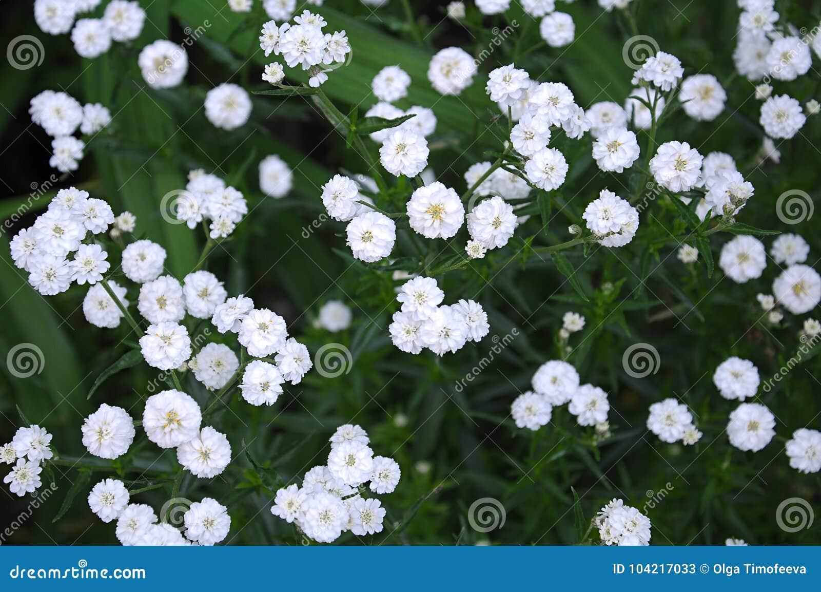 Tiny White Flowers Gypsophila Paniculata Stock Image Image Of