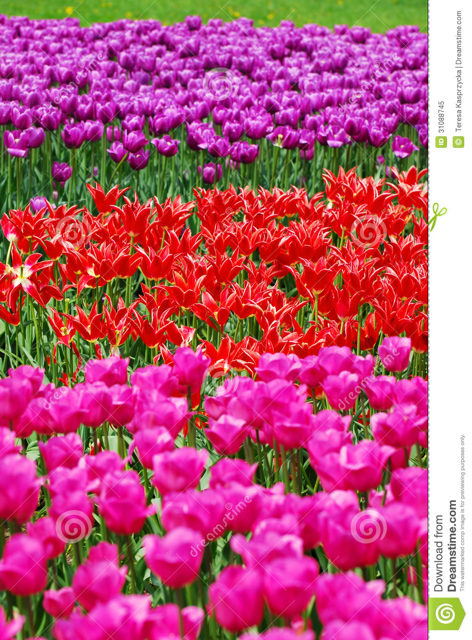 Background with tulip fields in different colors