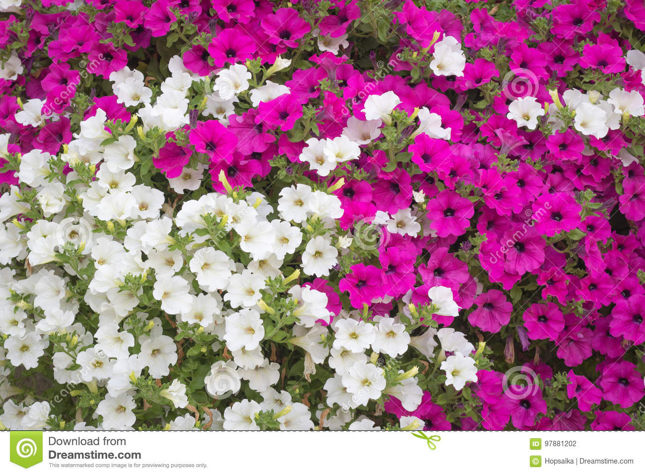 Background Vibrant White And Pink Petunia Surfinia Flowers Stock
