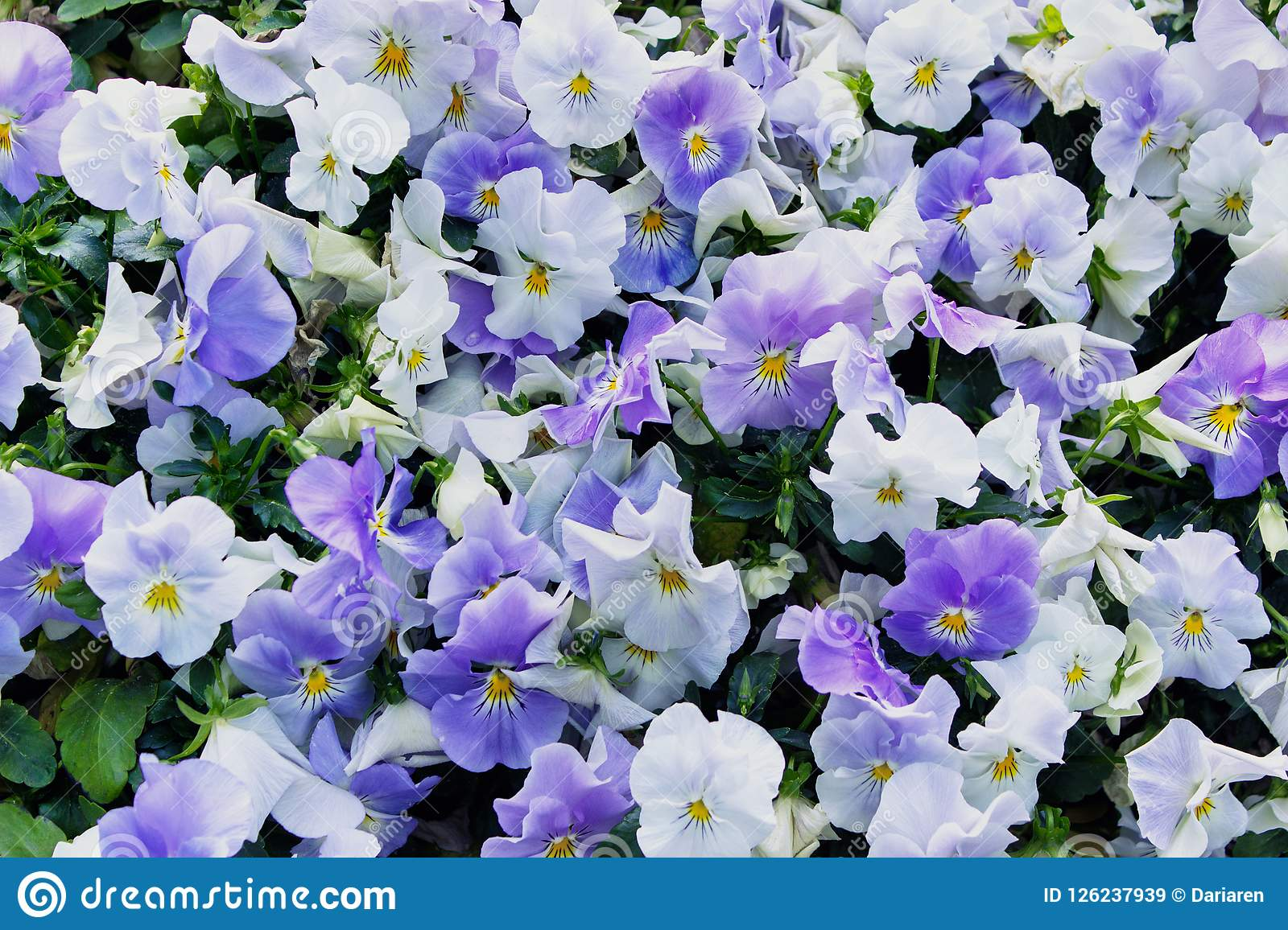 Background with Viola tricolor blooming flowers.