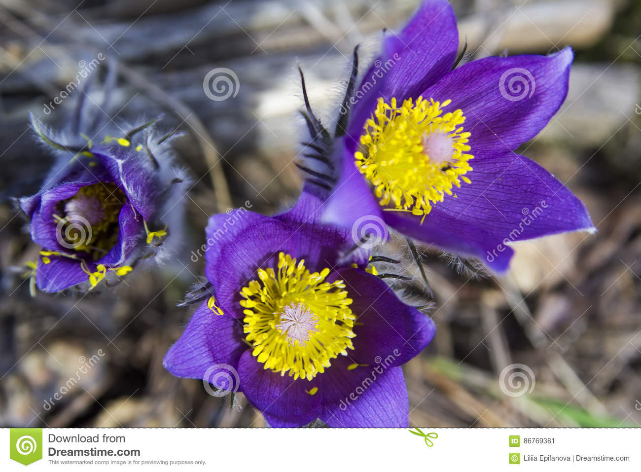 Background Wallpaper Pictures Group Of Purple Snowdrop Primroses Sleep Grass Stock Image Image Of Land Green 86769381