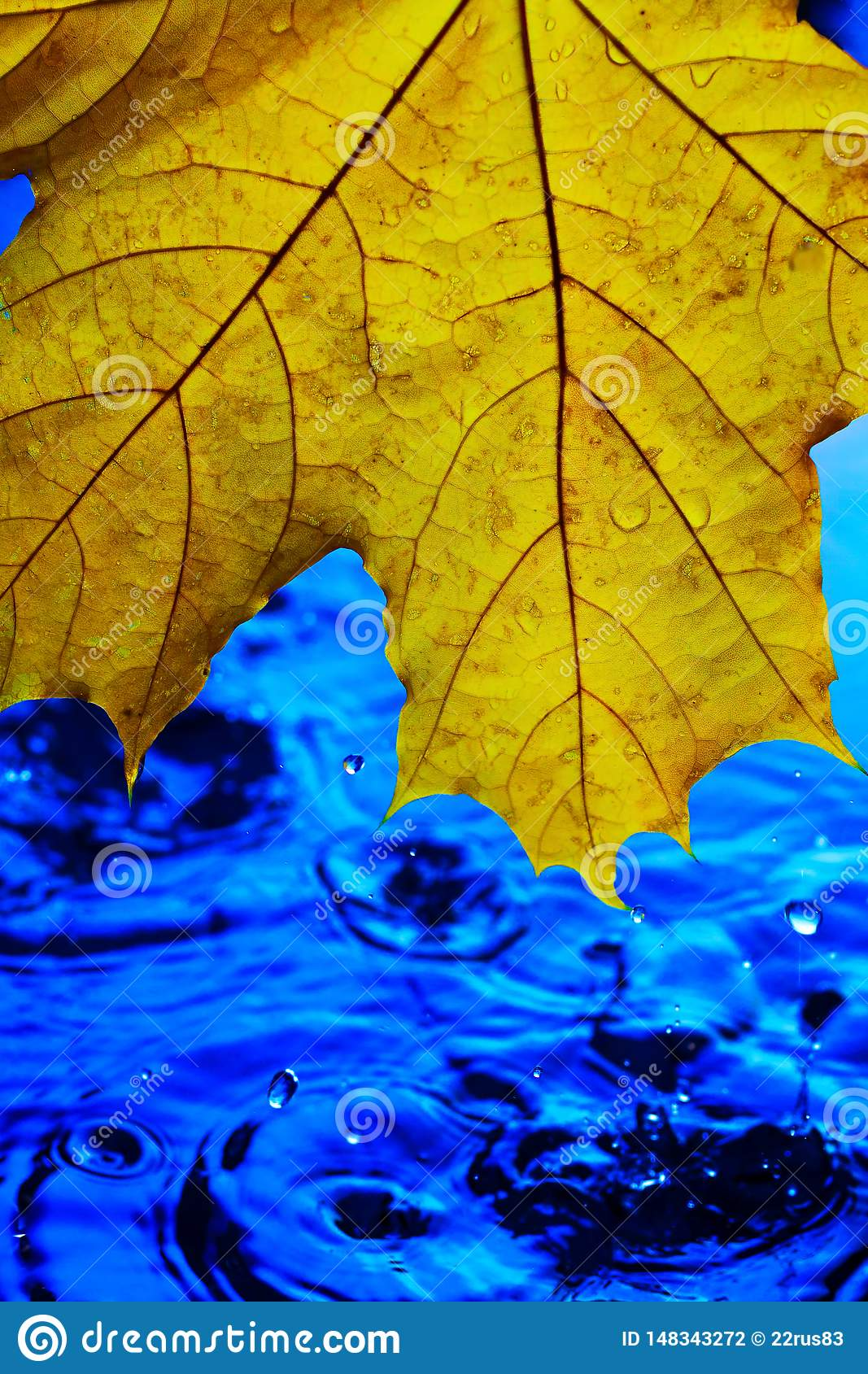 Background Wallpaper For Screen Savers Yellow Autumn Leaf Over Blue Water During Rain Splashes And Drops Of Water With Blue Stock Photo Image Of Natural Moisture 148343272