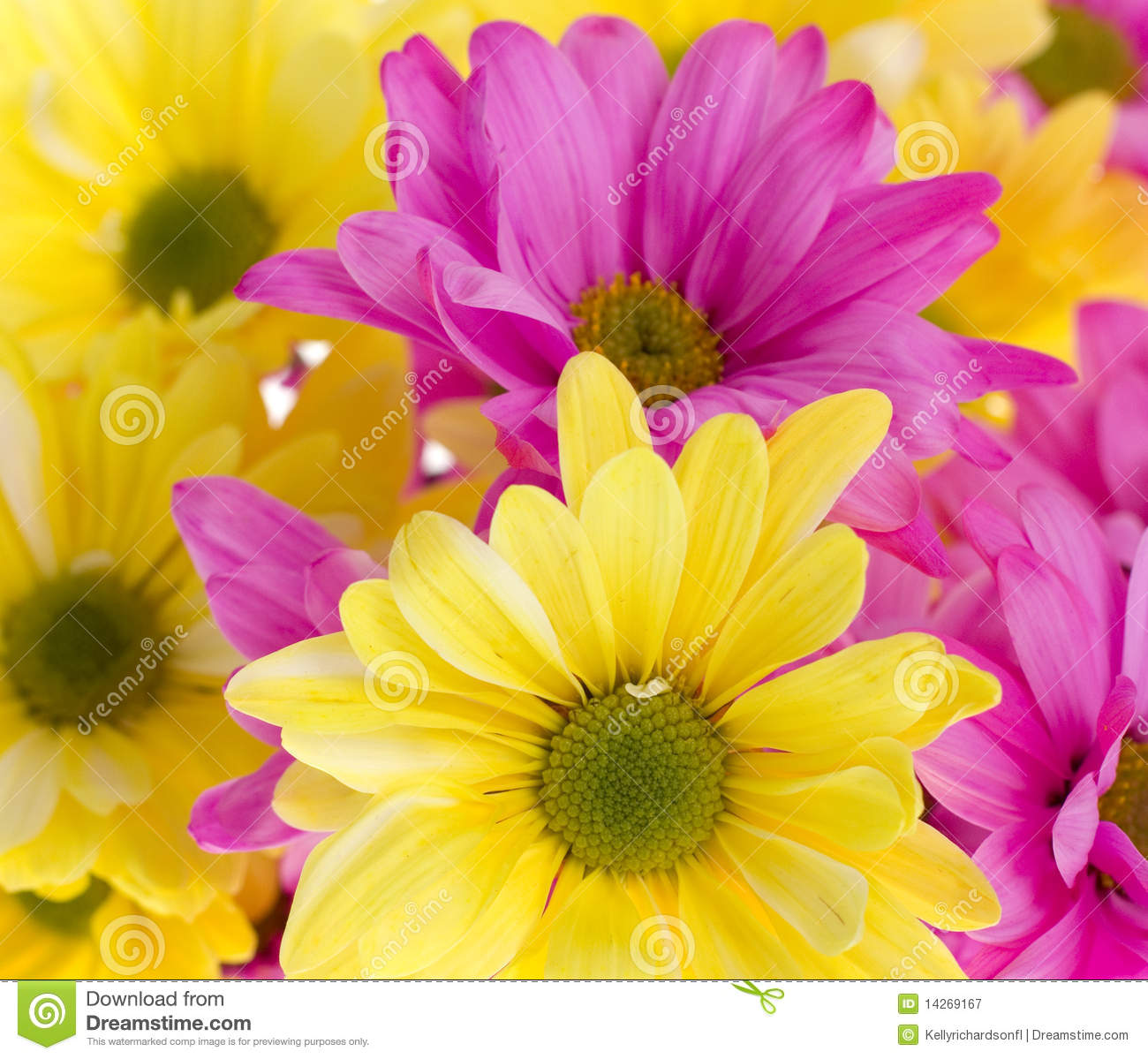 background yellow and pink daisy flowers royalty free