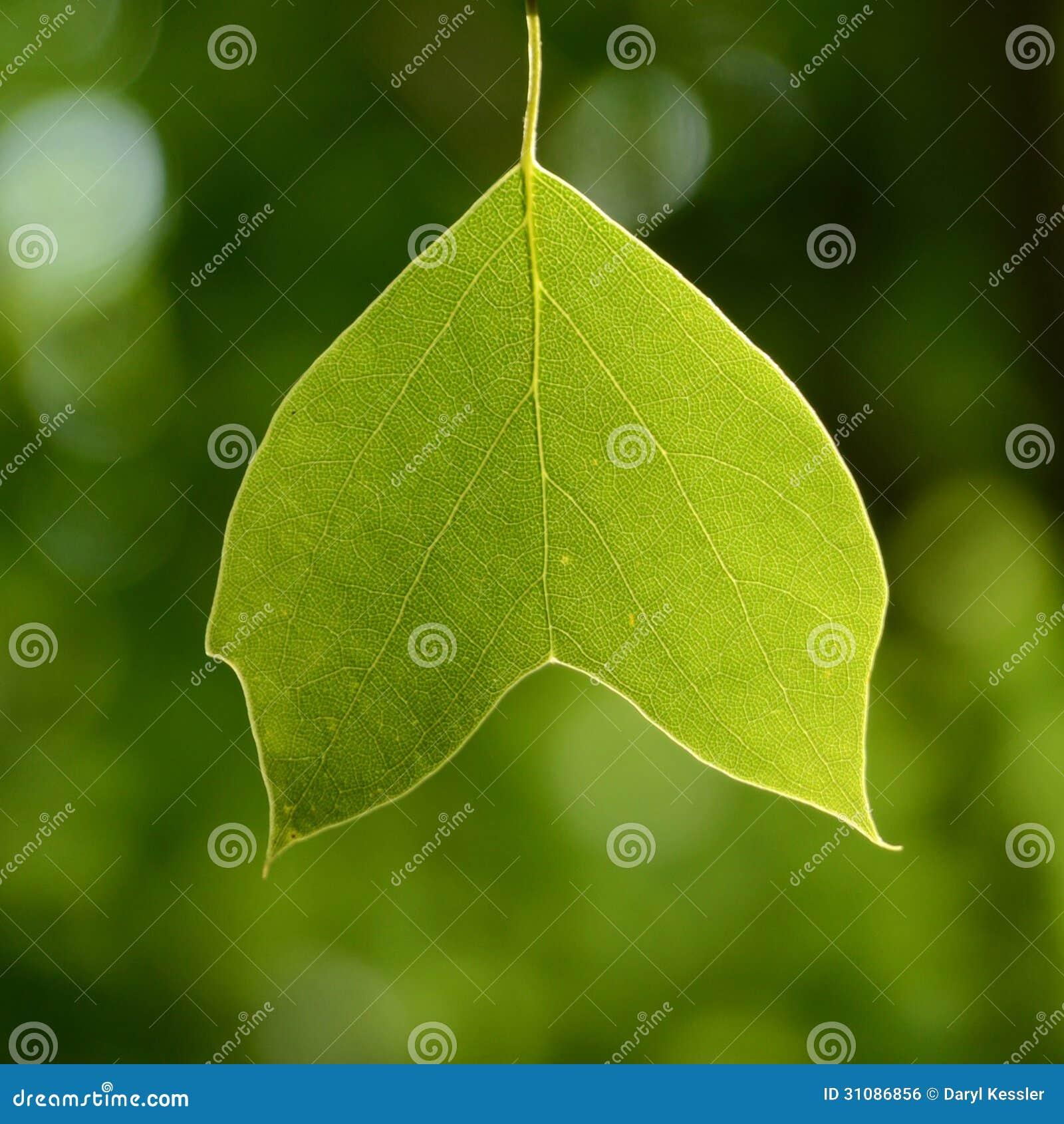 Beautiful backlit green tree leaf with an unusual shape