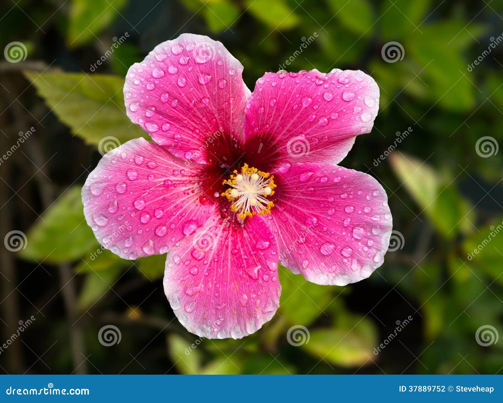 Backlit hibiscusbloesem in tuin