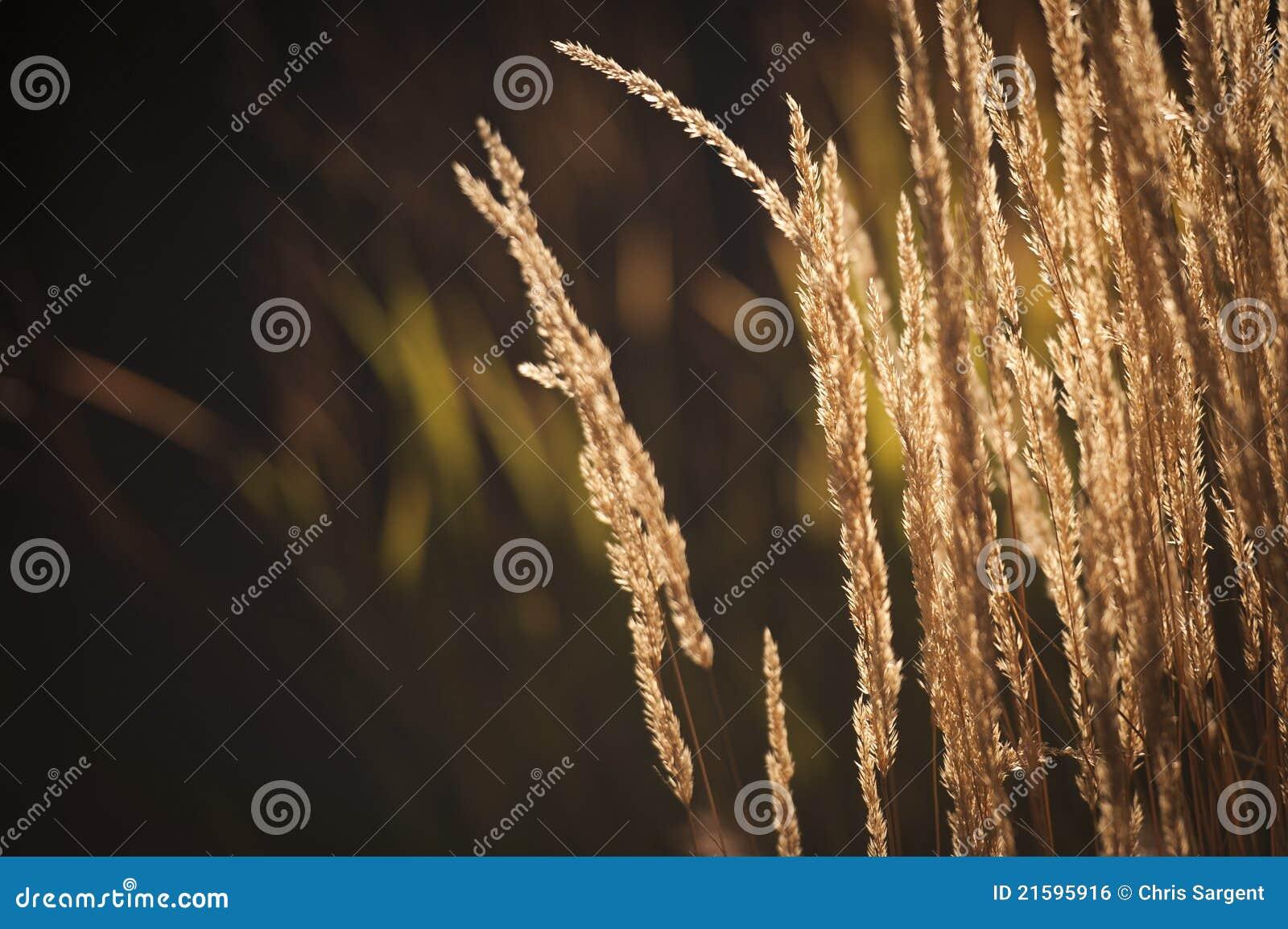Backlit Lang gras