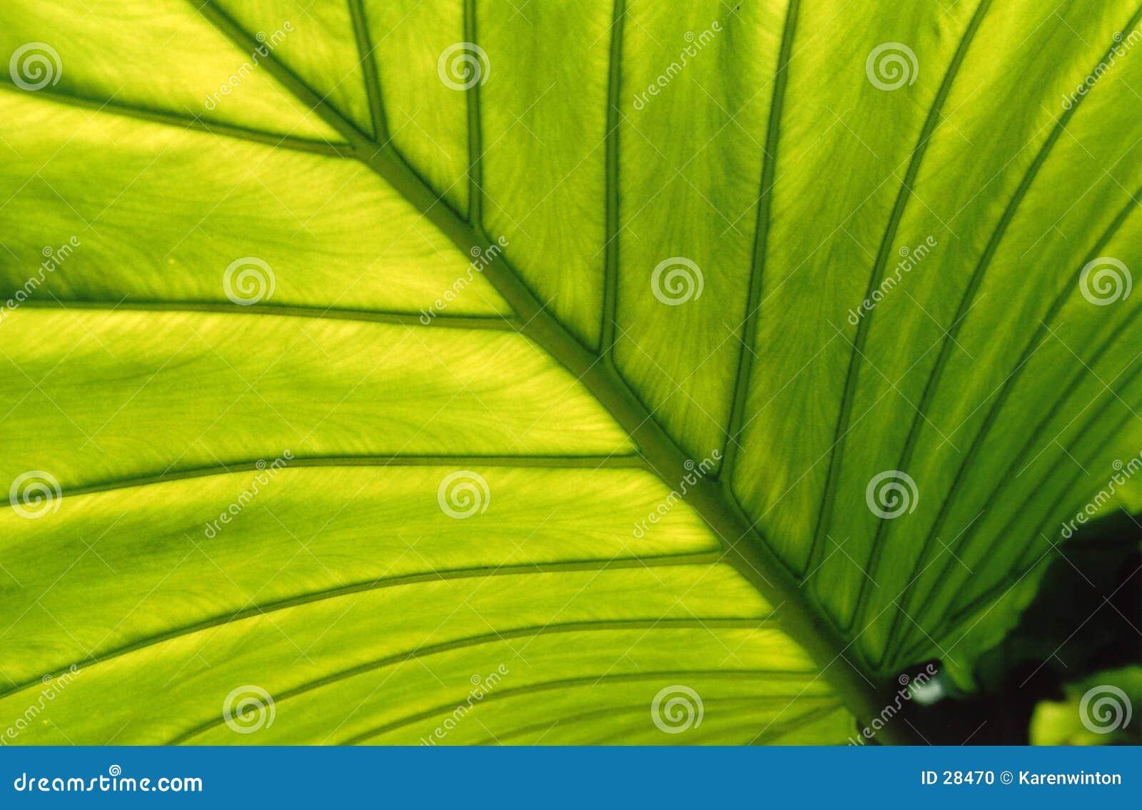 Backlit liści,