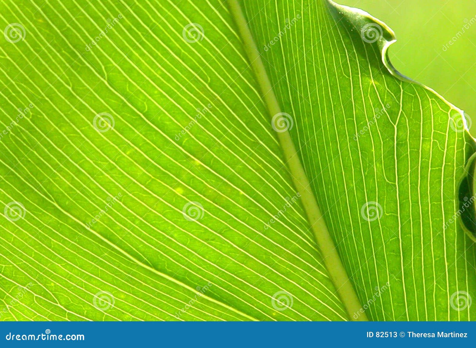 Backlit liścia palmy