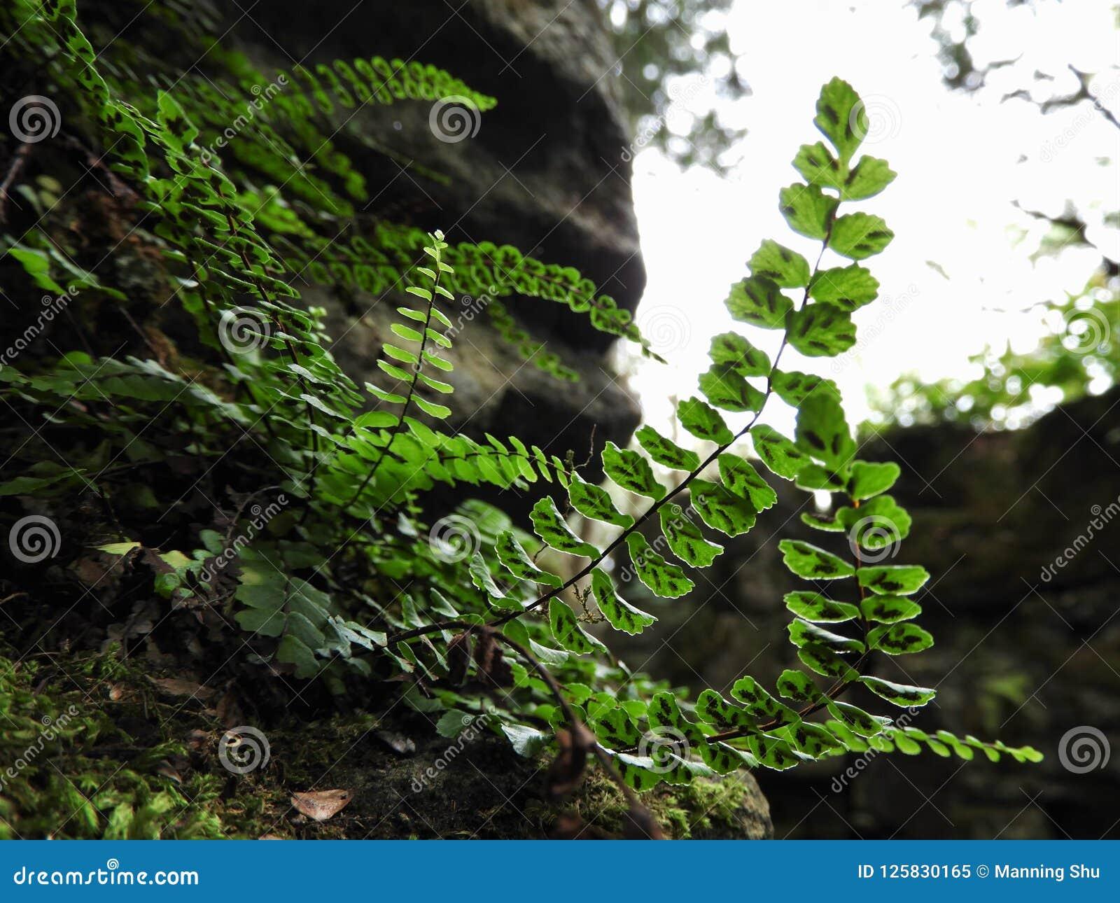 Backlit Maidenhair Spleenwort paproć