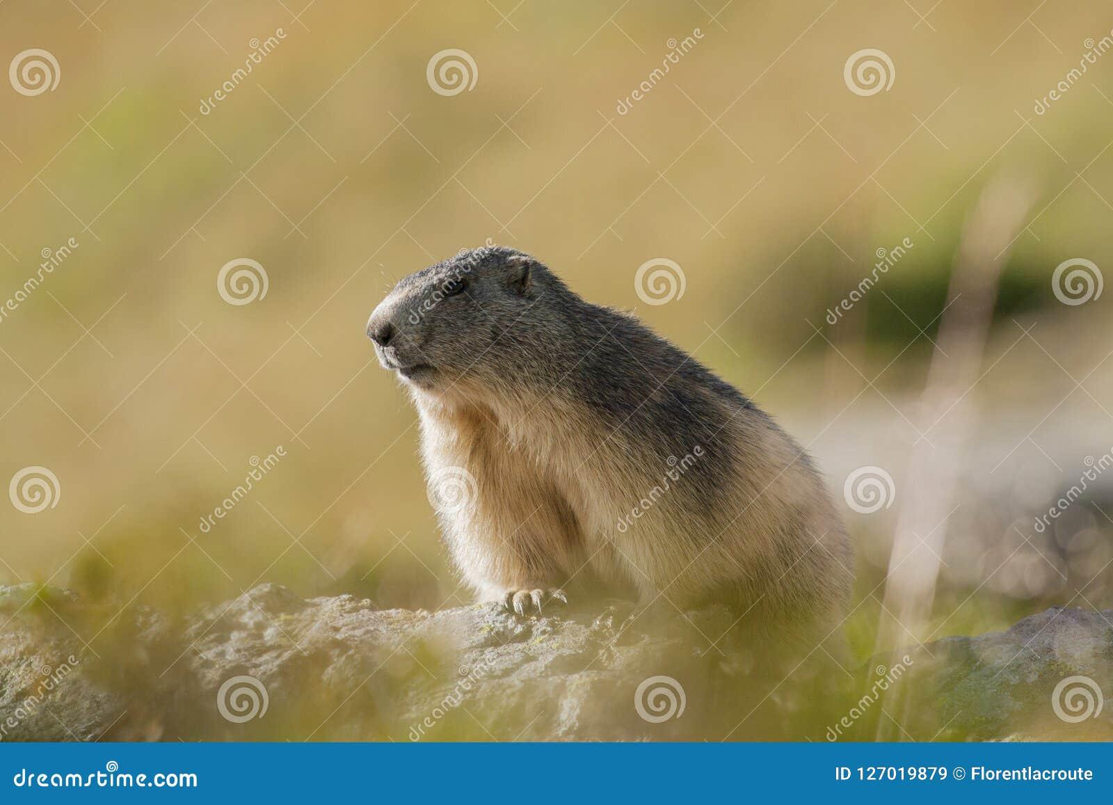 Backlit Marmot Portait In The French Alps, Marmota Marmota, Vanoise