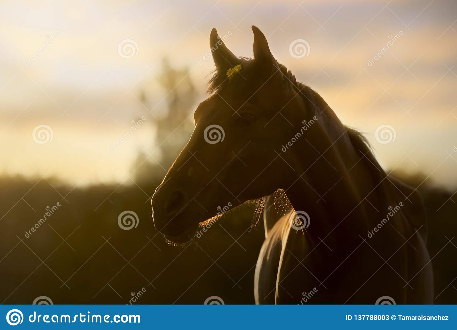 Backlit portrait of a horse in a summer sunset