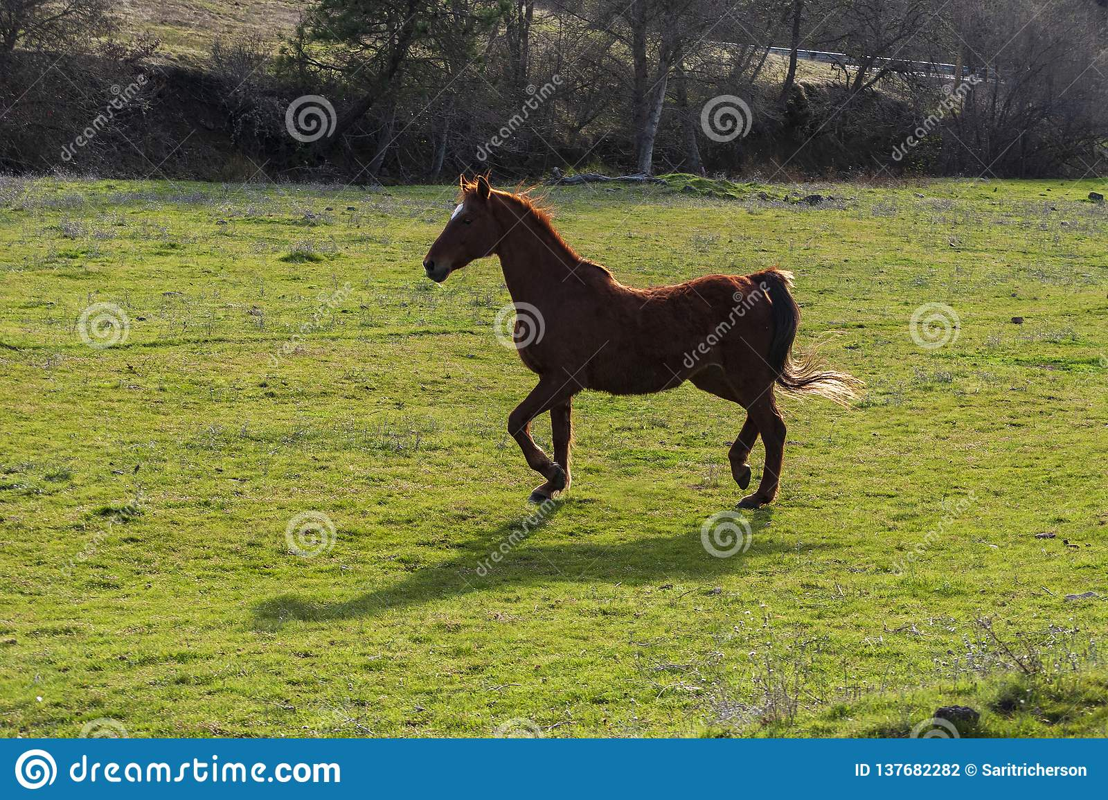 Old Saddlebred Mare Trotting in a Green Pasture