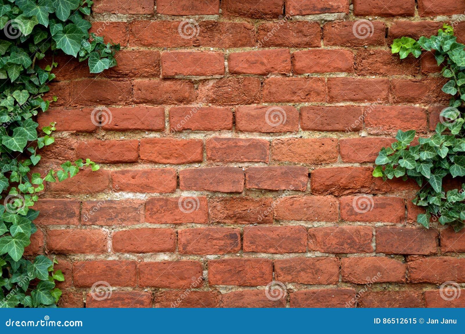 Backsteinmauer abgedeckt im Efeu