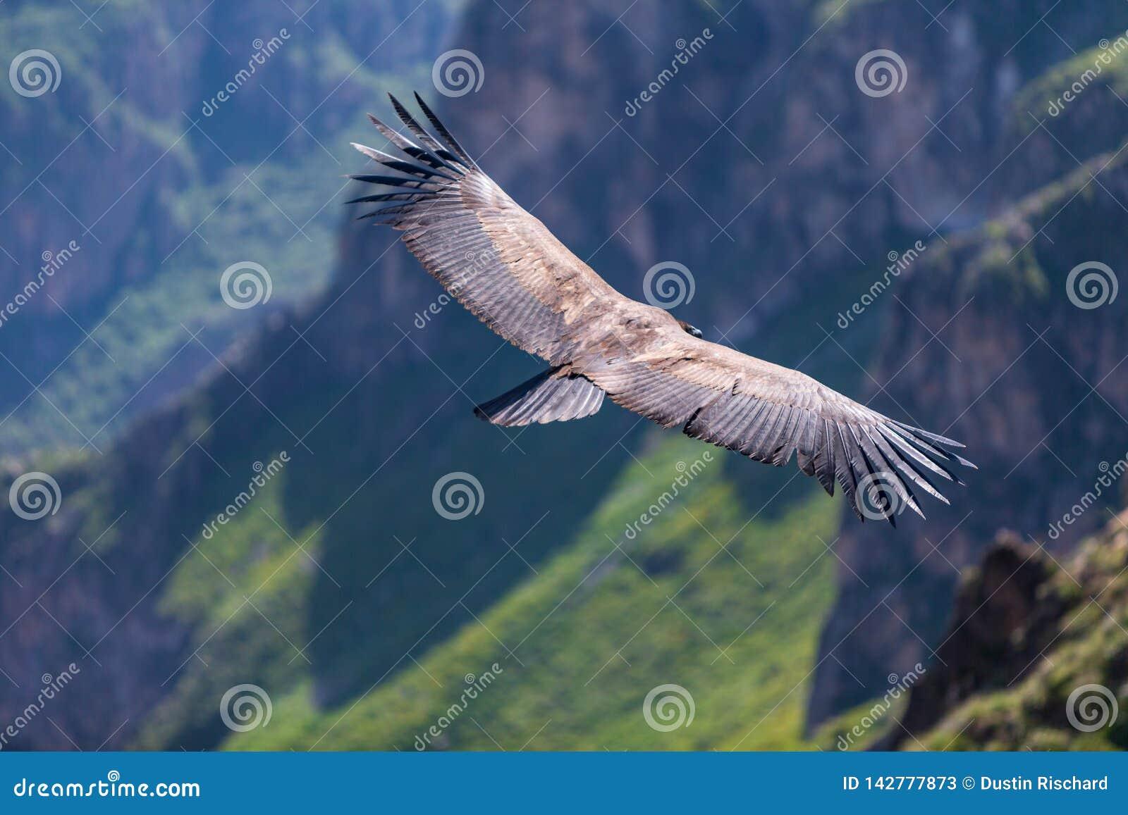 Backview do voo do condor sobre a garganta do colca em chivay, Peru que procura a rapina inoperante