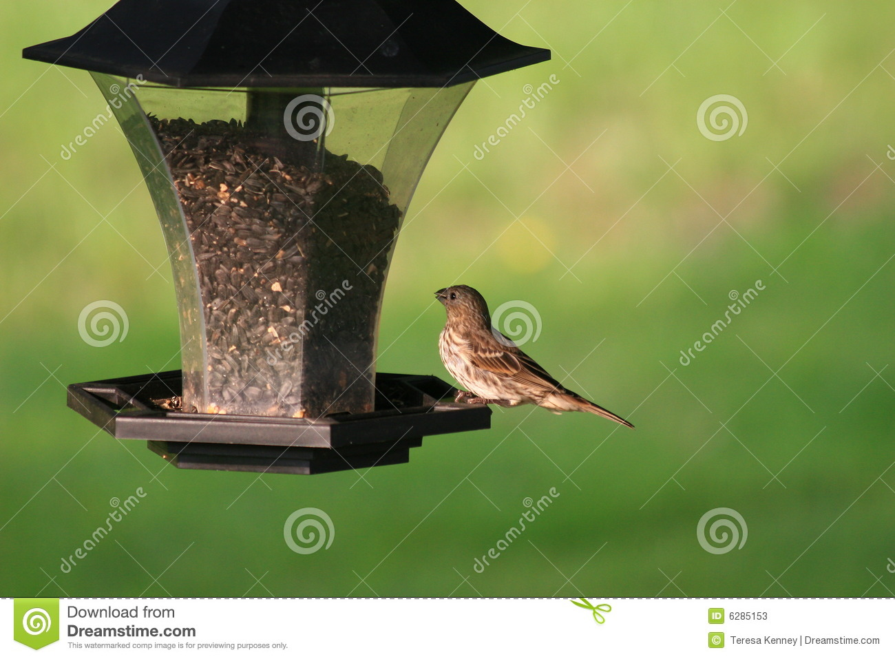 Backyard House Finch Feeding Stock Image - Image of wild ...