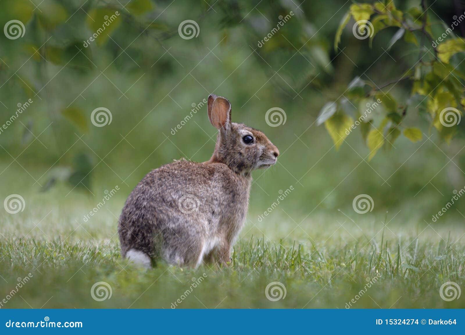 backyard rabbit stock images image 15324274