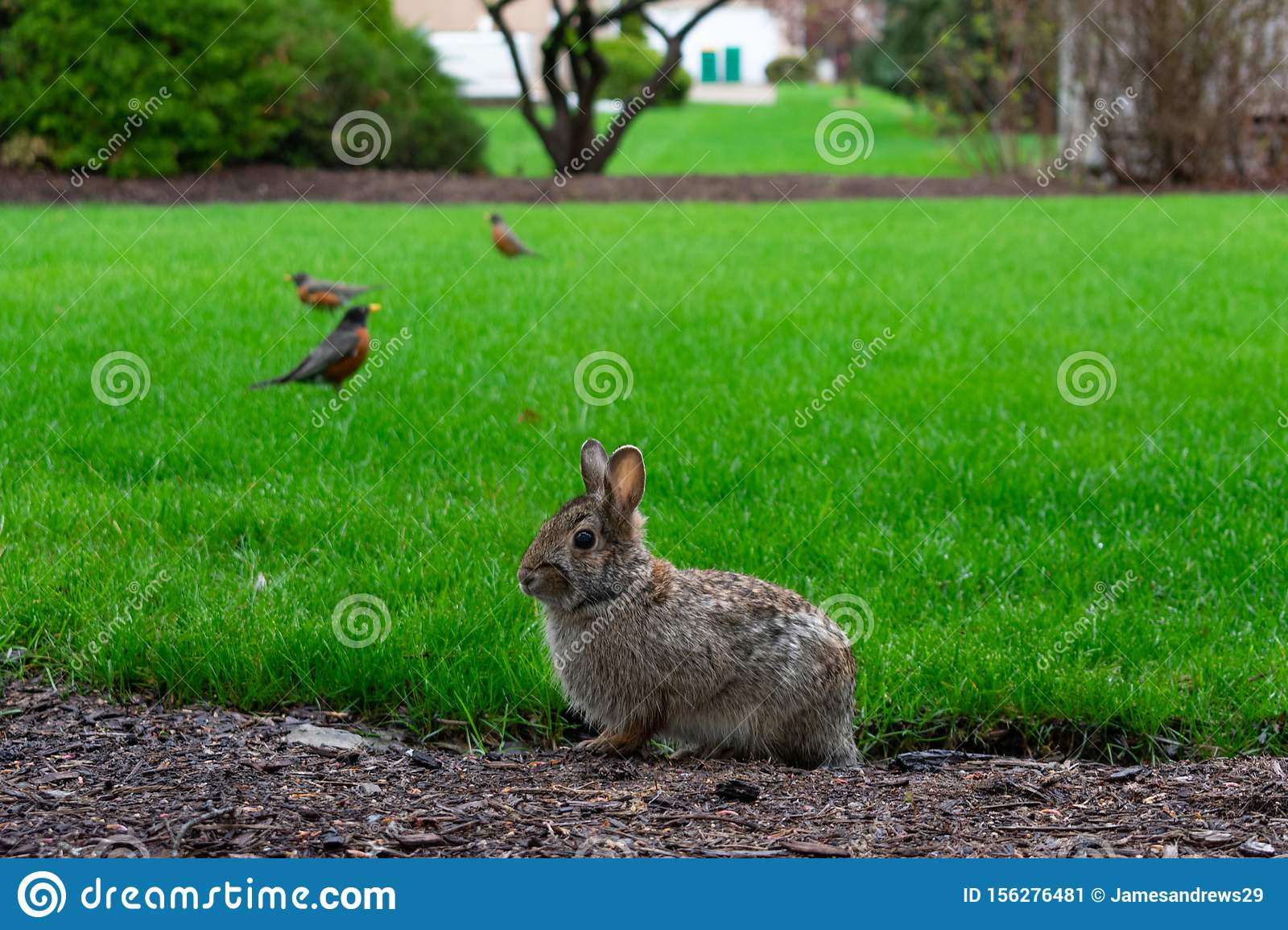 Backyard Rabbit With Robins In The Background At A ...