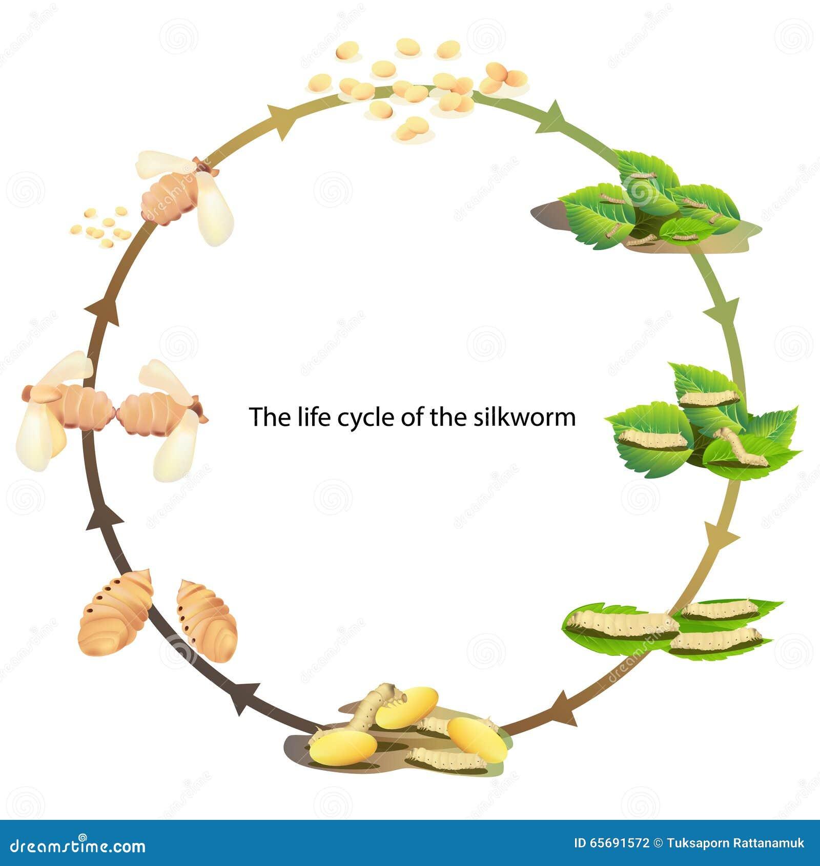 Baco da seta del ciclo di vita