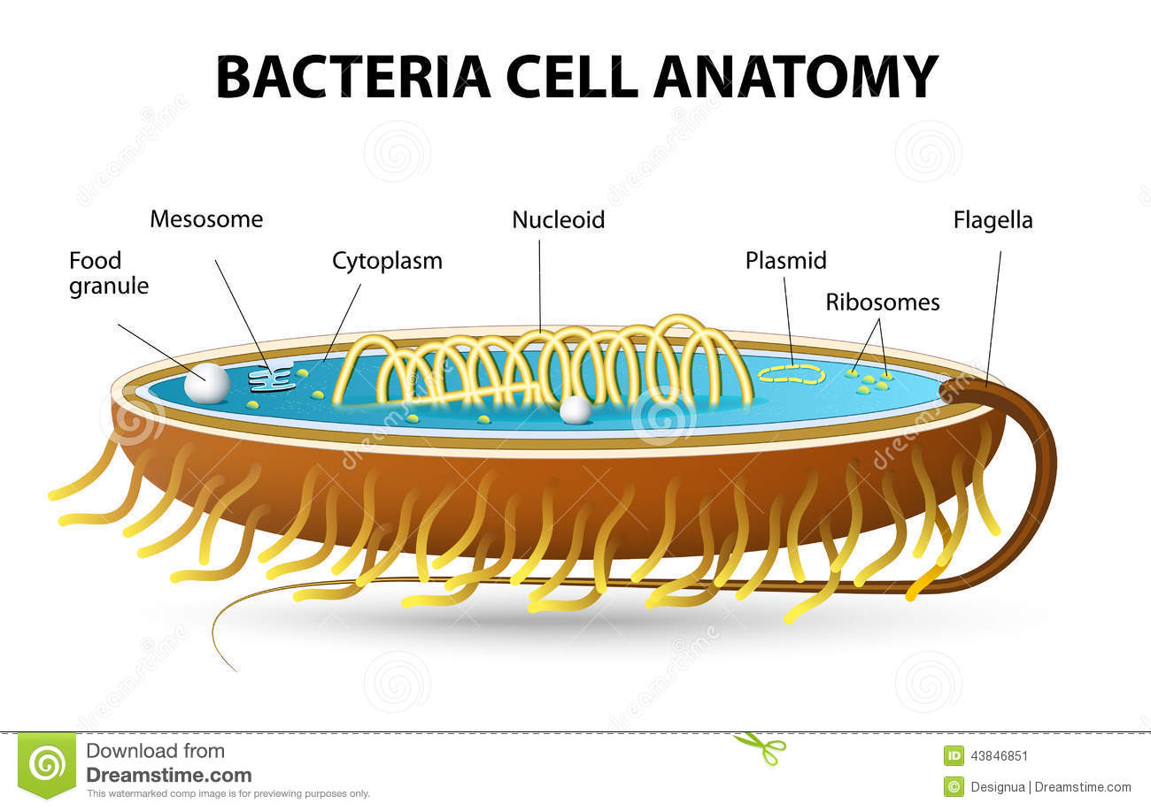 Of bacterial cell cutaway vector diagram of a typical bacterial cell