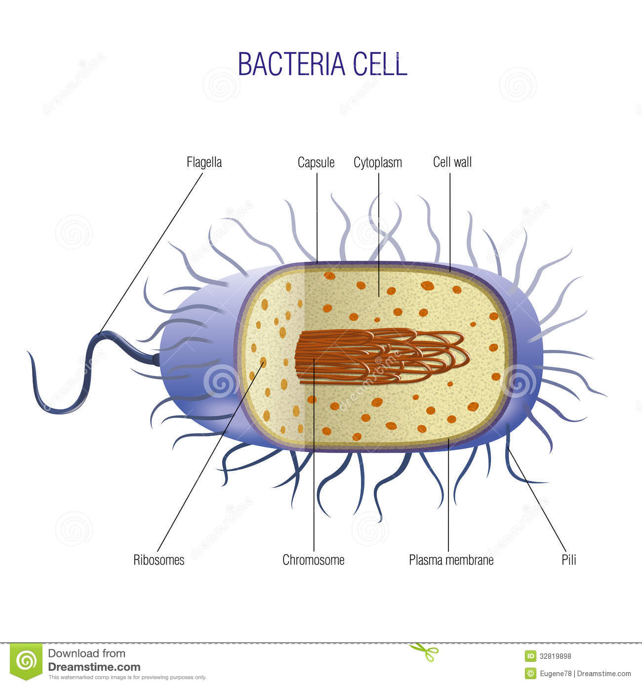 Bacteria cell cut away scientifically correct vector illustration