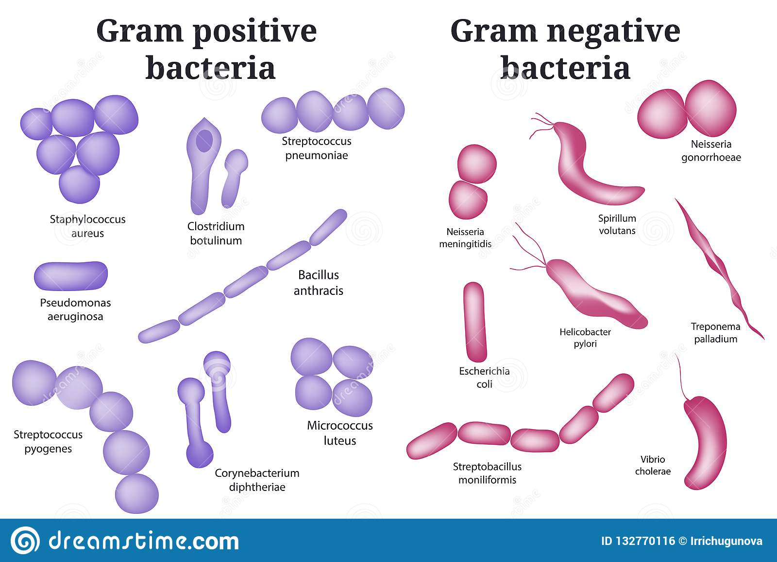 bacterias gram positivas y negativas