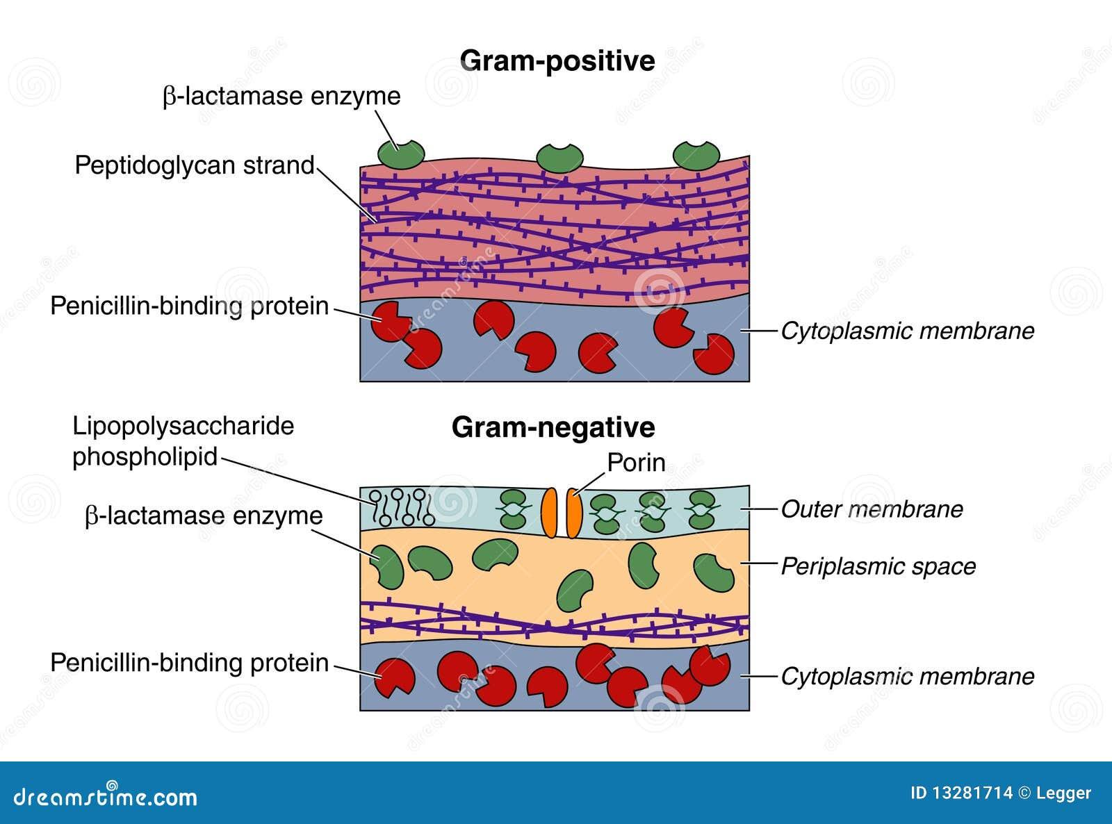 Bacterias Grampositivas Y Negativas Ilustración Del Vector
