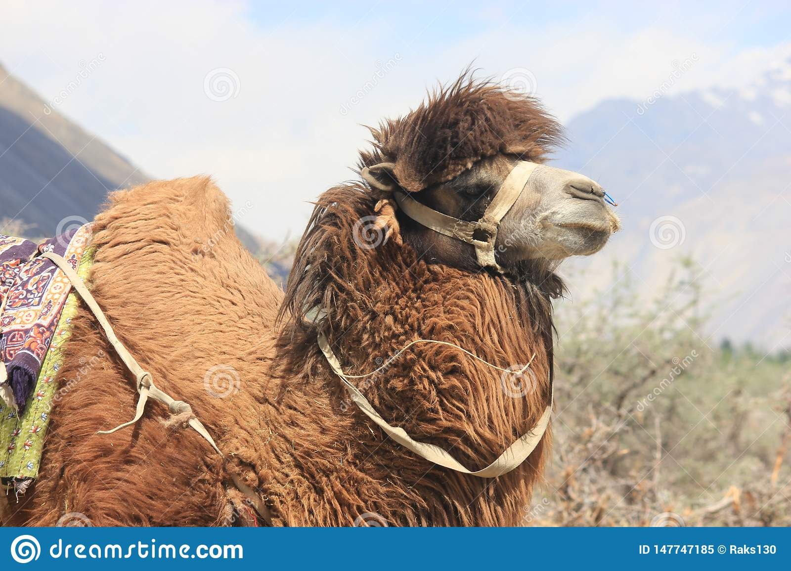 Bactrian Camel in Ladakh