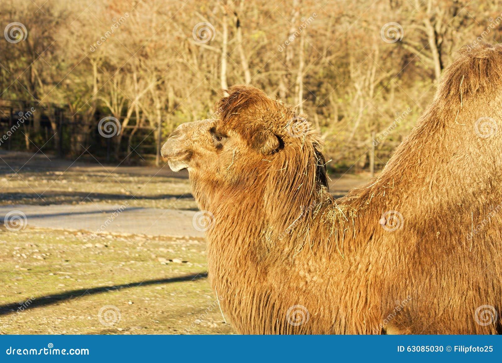 Download Bactrianus de Camelus photo stock. Image du domestique - 63085030
