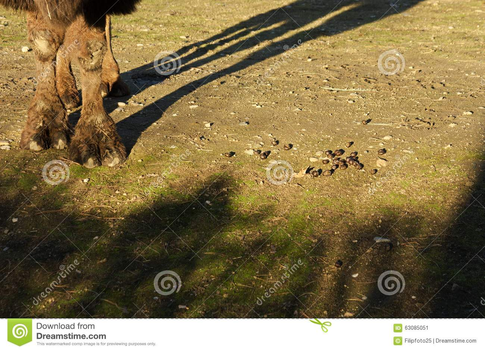 Download Bactrianus de Camelus image stock. Image du cheveu, colt - 63085051