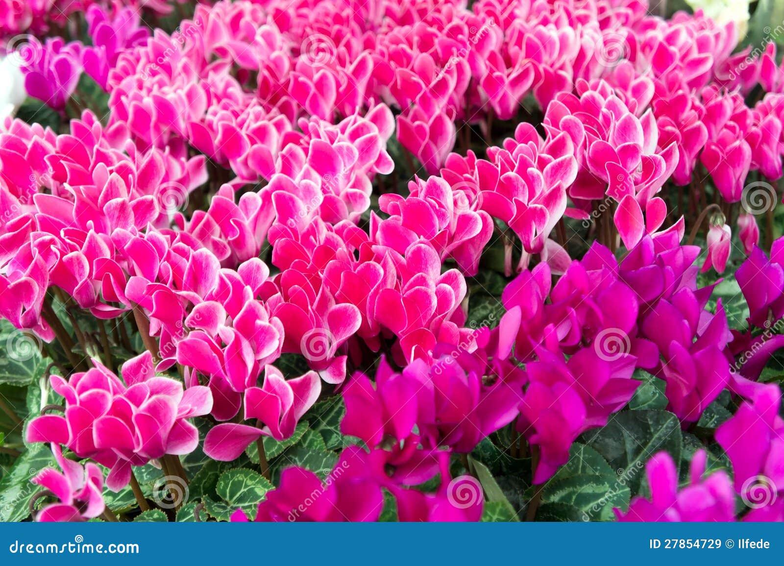 Bad cyklamenów różowi kwiaty