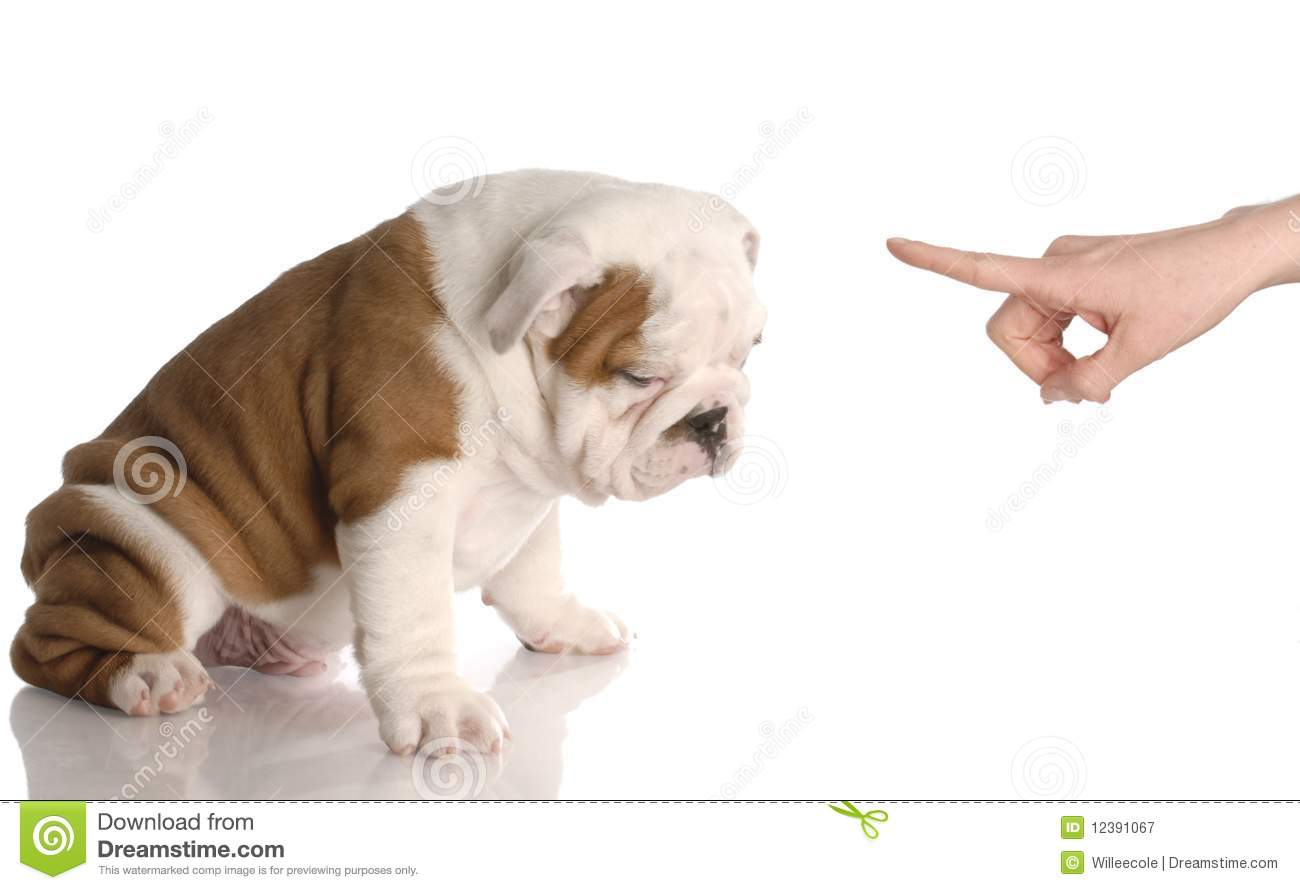 ... persons hand wagging finger at nine week old english bulldog puppy