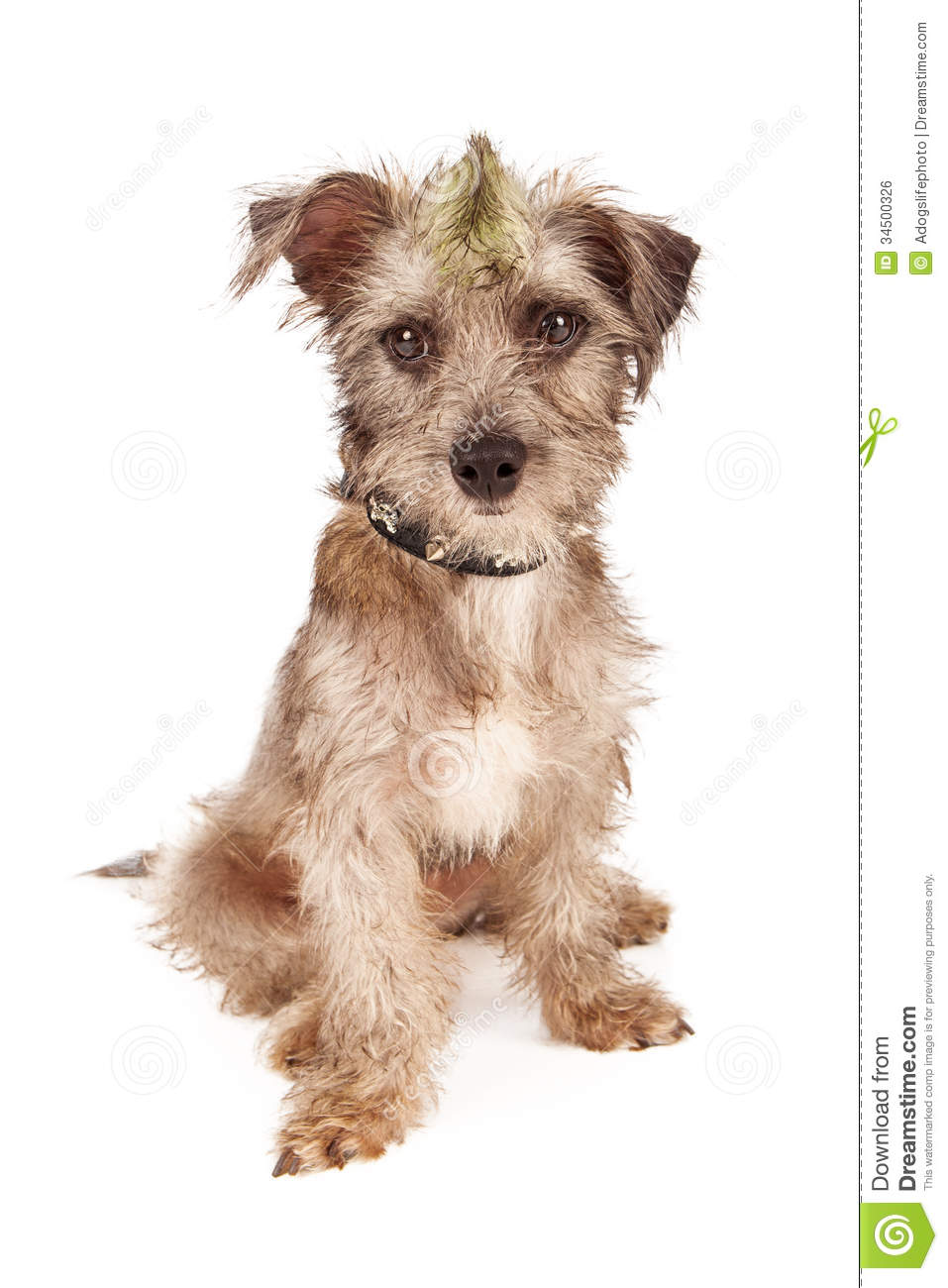 Small Scruffy Dog Breed