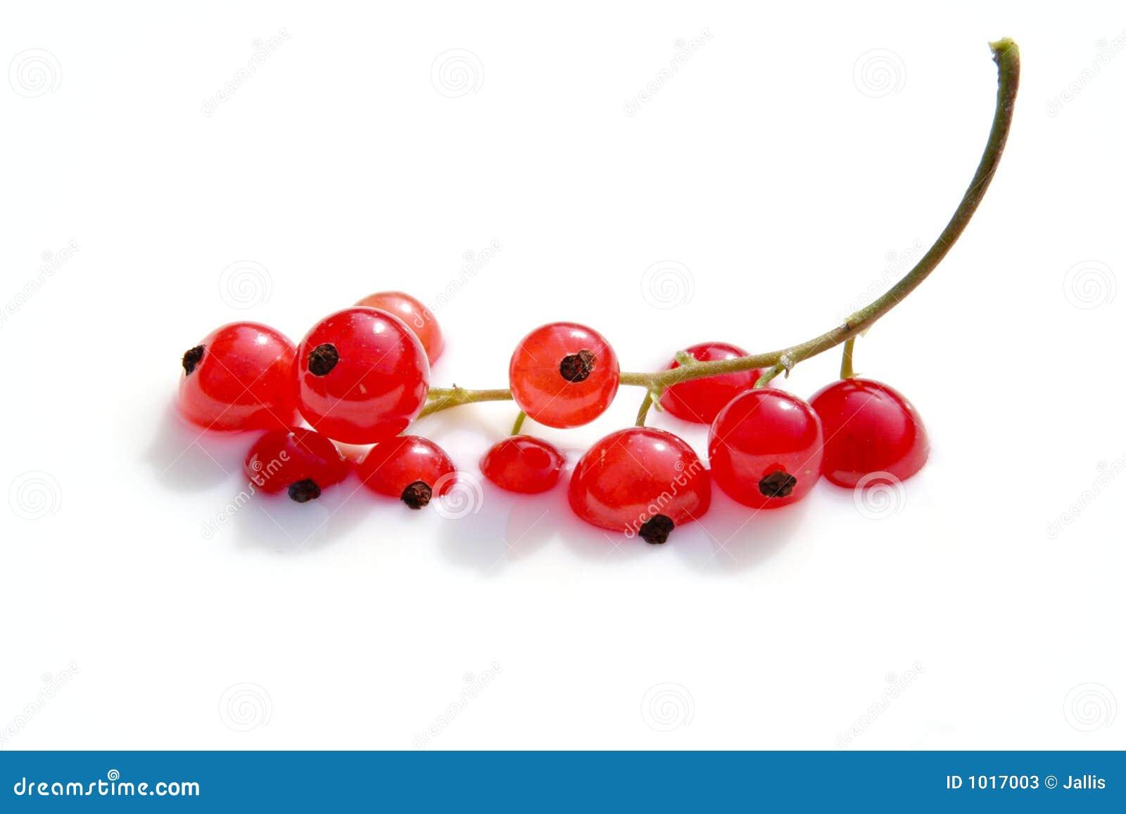 Badende rode bessen