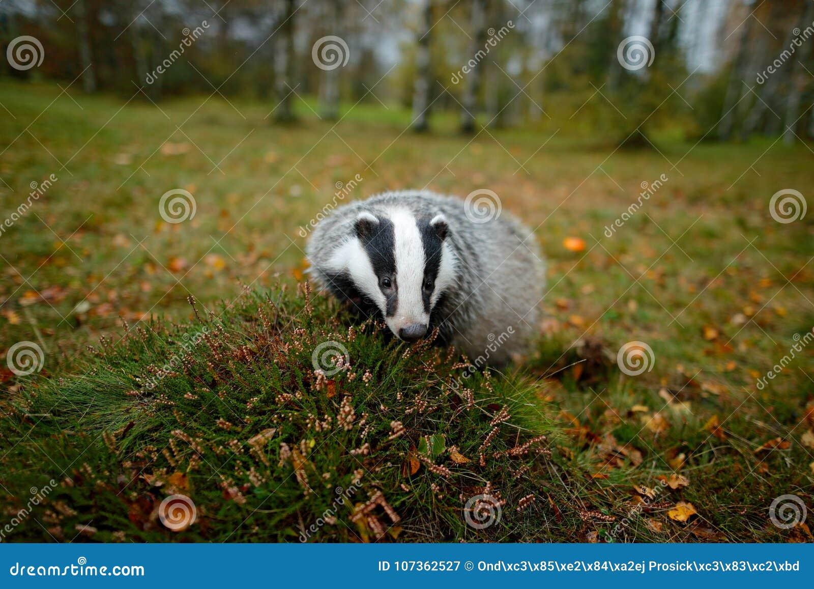Badger in forest, animal nature habitat, Germany, Europe. Wildlife scene. Wild Badger, Meles meles, animal in wood. European badge