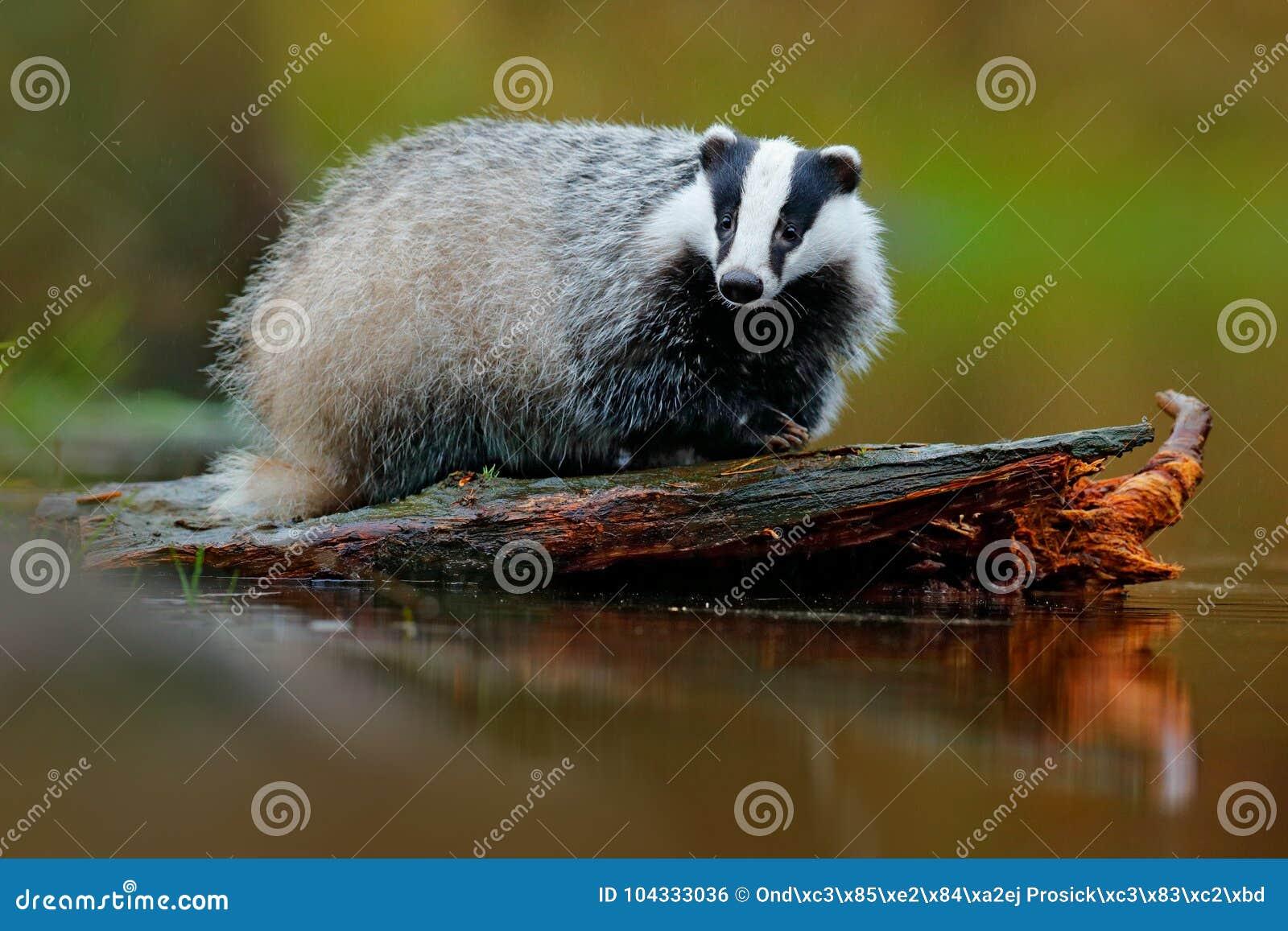 Badger in lake water, animal nature habitat, Germany, Europe. Wildlife scene. Wild Badger, Meles meles, animal in wood. European b