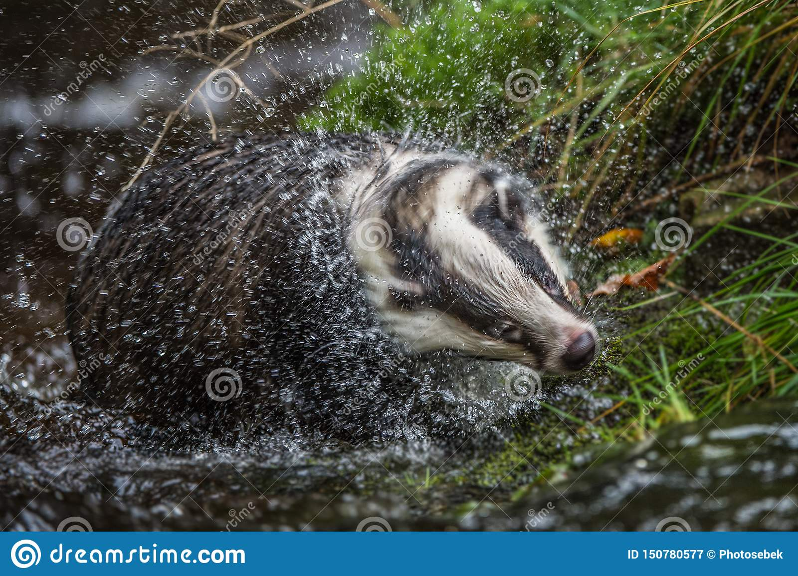 Badger in forest, animal in nature habitat, Germany, Europe. Wild Badger, Meles meles, animal in the wood. Mammal in environment,
