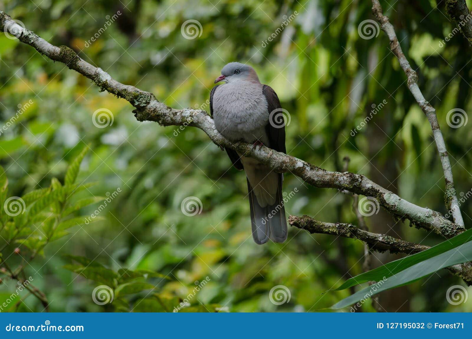 Badia impérial de Ducula de pigeon de montagne