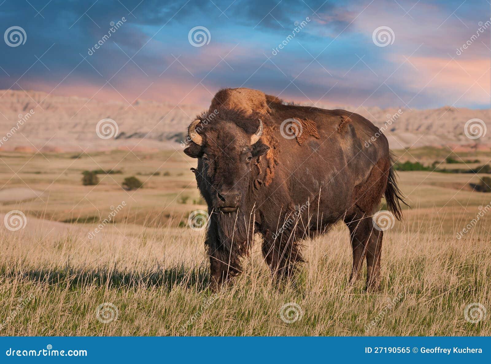 Badlands American Bison Bull