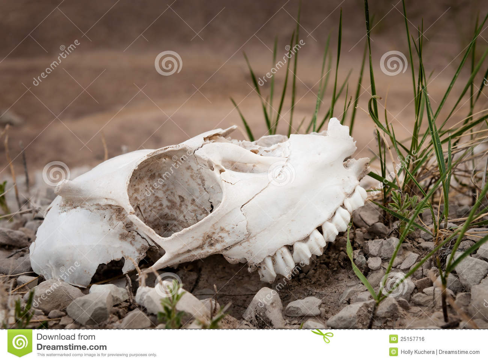 Badlands cakli czaszka