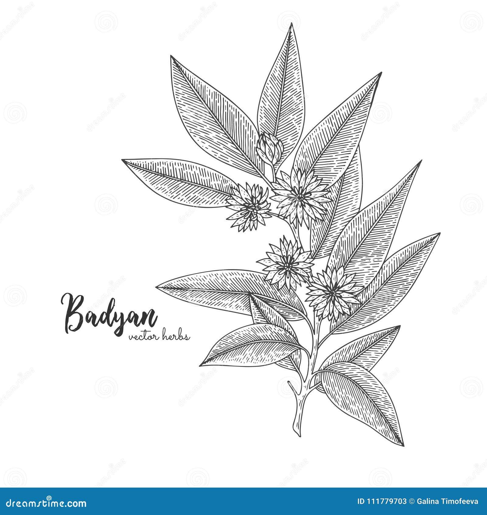 Badyan aisló en el fondo blanco Ejemplo grabado herbario del estilo Bosquejo orgánico detallado del producto Mano botánica