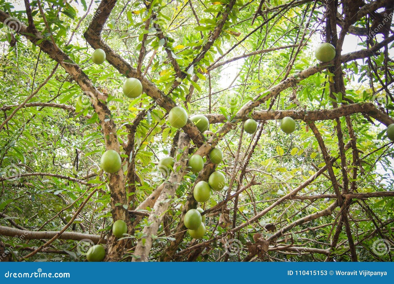 Bael frukt