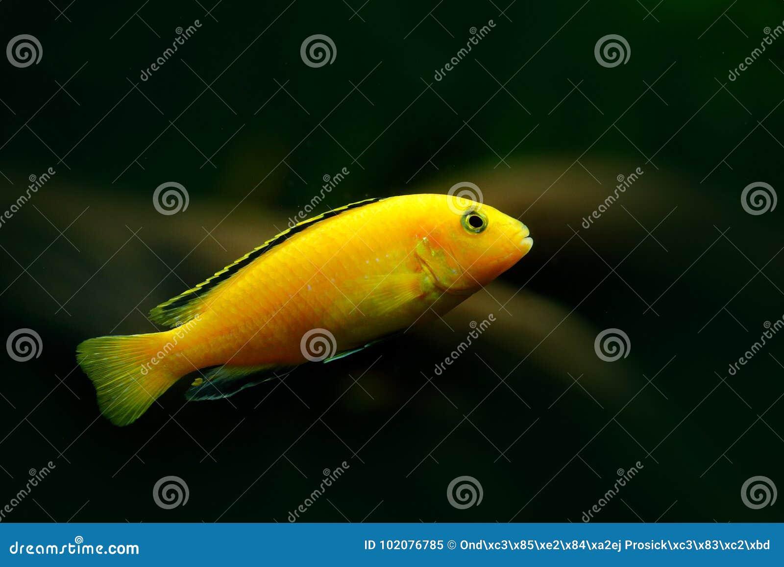Baenschi africain exotique d aulonacara de Cichlids, habitat vert de nature Poissons jaunes en eau de rivière Végétation de l eau